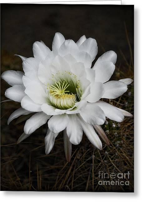 White Echinopsis   Greeting Card by Saija  Lehtonen