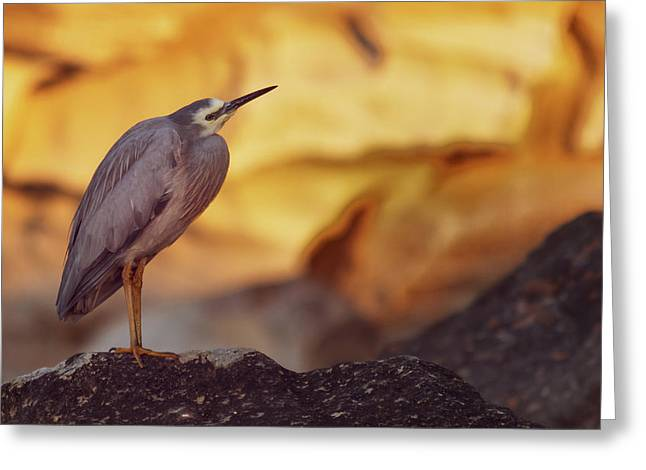 White-faced Heron At The Beach Greeting Card