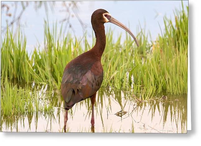 White Faced Ibis Greeting Card by Dennis Hammer