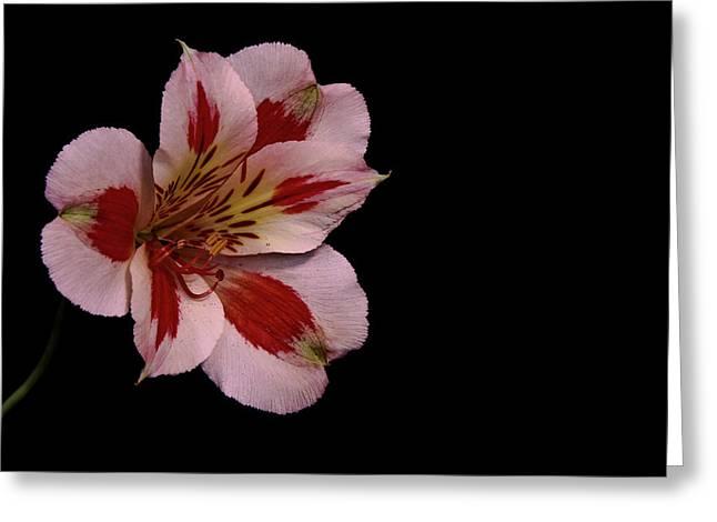 White Peruvian Lily Greeting Card
