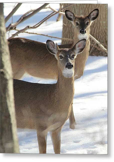 White Tailed Deer Smithtown New York Greeting Card by Bob Savage