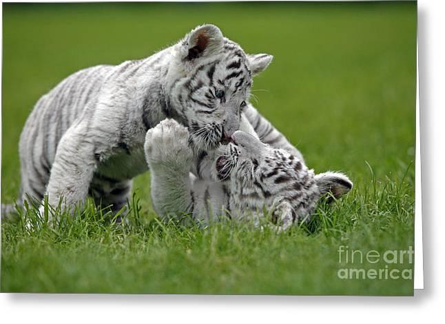 White Tiger Panthera Tigris Greeting Card by Gerard Lacz