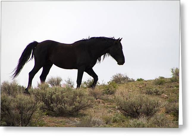 Wild Black Mustang Stallion Greeting Card