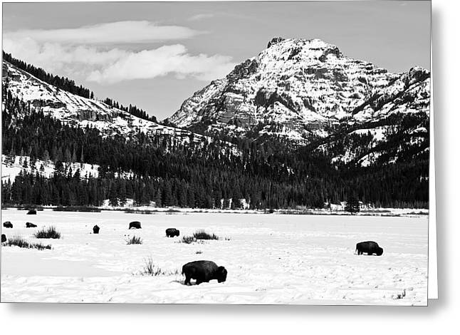 Winter Bison In Yellowstone Greeting Card