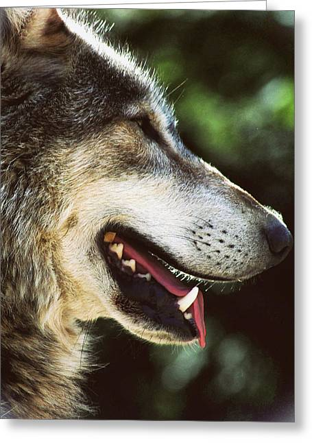 Wolf Portrait Greeting Card
