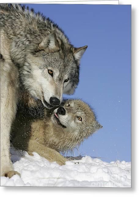 Wolf Social Behavior Greeting Card