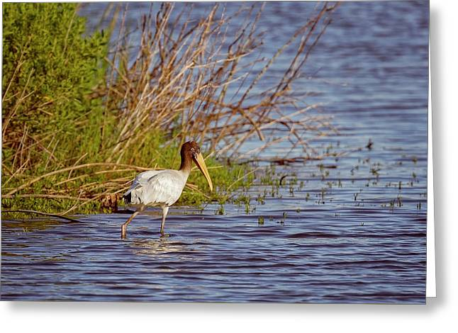 Greeting Card featuring the photograph Wood Stork by Peter Lakomy
