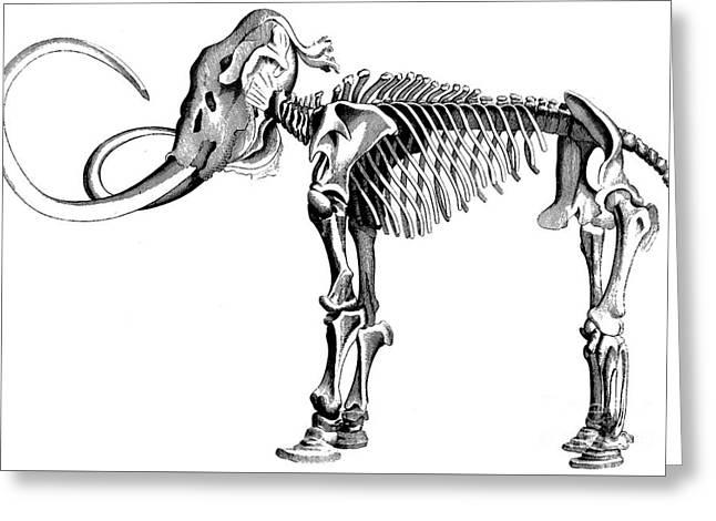 Woolly Mammoth Skeleton Greeting Card
