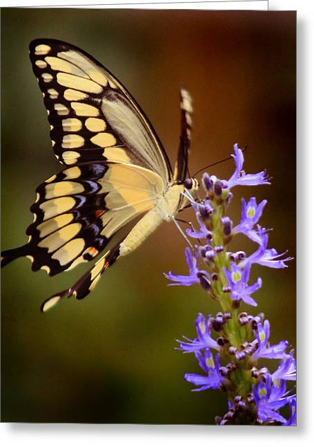 Greeting Card featuring the photograph Yellow Swallowtail by Joseph G Holland
