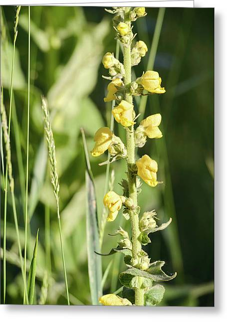 Yellow Verbascum Thapsus Greeting Card