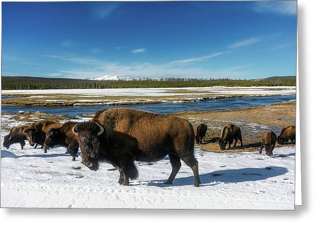 Yellowstone Bison Greeting Card by L O C