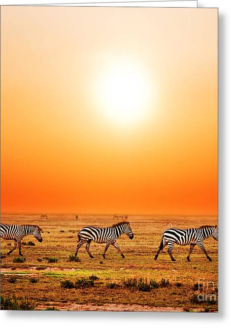 Zebras Herd On African Savanna At Sunset. Greeting Card