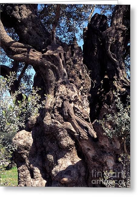 2000 Year Old Olive Tree Greeting Card by Thomas R Fletcher
