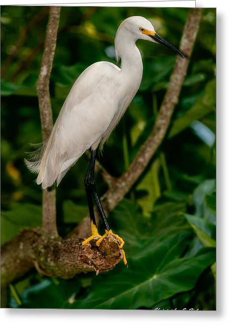 Greeting Card featuring the photograph White Egret by Christopher Holmes