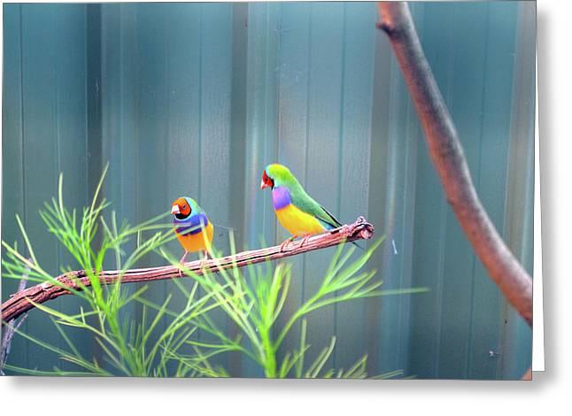 Aussie Rainbow Lovebirds Greeting Card