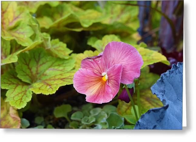 2015 After The Frost At The Garden Pansies 3 Greeting Card by Janis Nussbaum Senungetuk