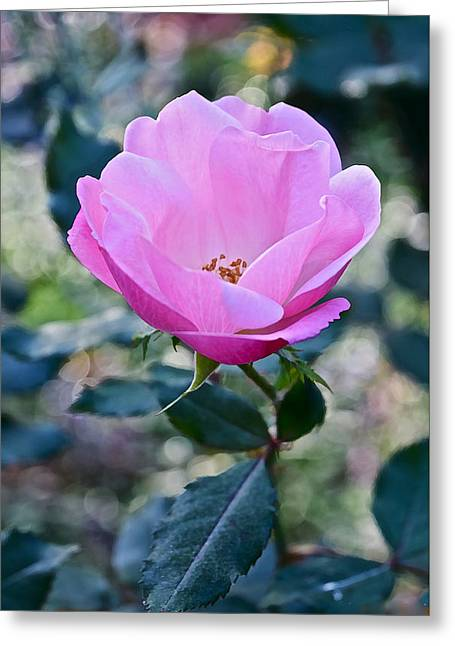 2015 After The Frost At The Garden Pink  Rose Greeting Card by Janis Nussbaum Senungetuk