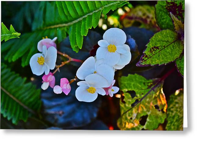 2015 Early September At The Garden Begonias Greeting Card