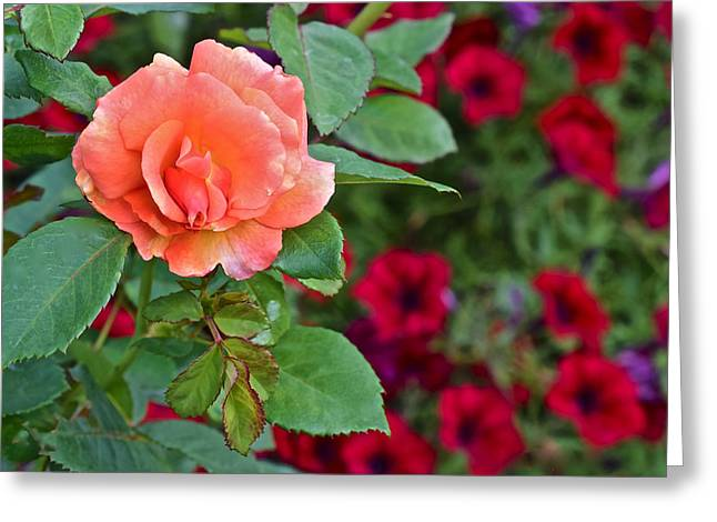 2015 Fall Equinox At The Garden Sunset Rose And Petunias Greeting Card