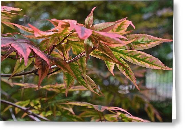 2015 Mid-september At The Garden Japanese Maple 1 Greeting Card