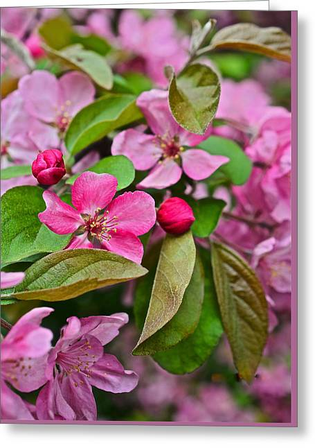 2015 Spring At The Gardens Pink Crabapple Blossoms 2 Greeting Card
