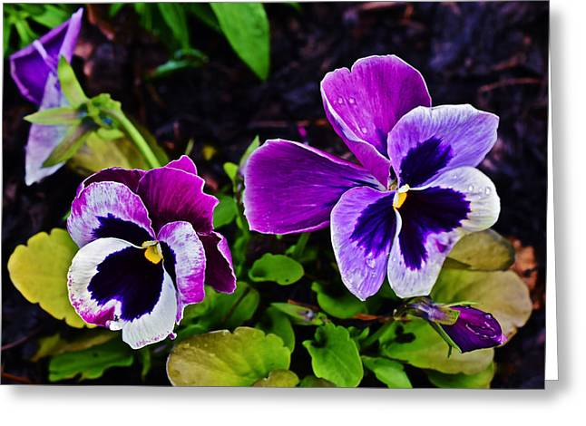2015 Spring At Olbrich Gardens Violet Pansies Greeting Card