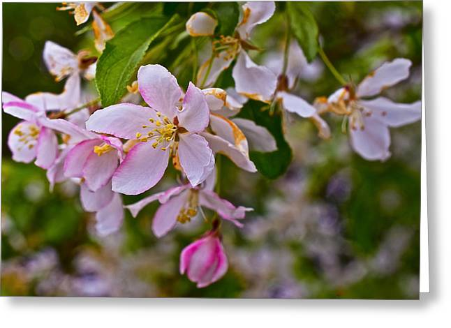 2015 Spring At The Gardens White Crabapple Blossoms 1 Greeting Card