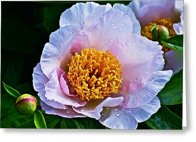 2015 Spring At The Garden White Peony  Greeting Card