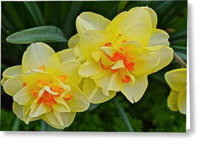 2015 Spring At The Gardens Tango Daffodil Greeting Card
