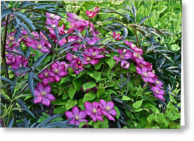 2015 Summer At The Garden Beautiful Clematis Greeting Card by Janis Nussbaum Senungetuk