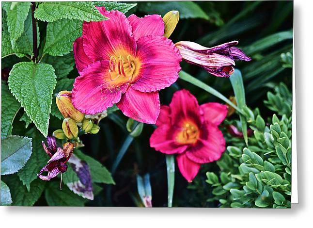 2015 Summer At The Garden Strawberry Candy Daylily 2 Greeting Card