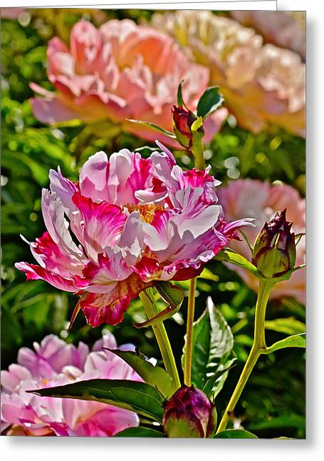 2015 Summer's Eve At The Garden Candy Stripe Peony Greeting Card