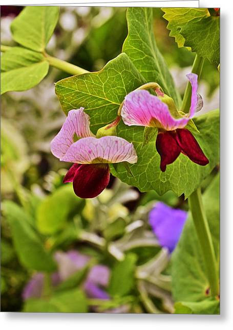 2015 Summer's Eve At The Garden Sweet Pea 2 Greeting Card