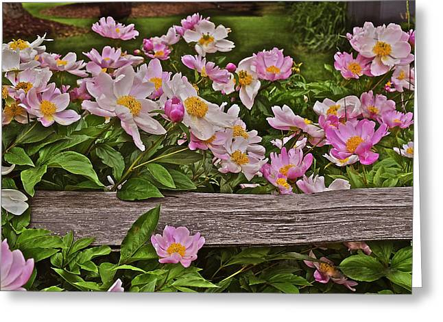 2015 Summer's Eve Front Yard Peonies 1 Greeting Card