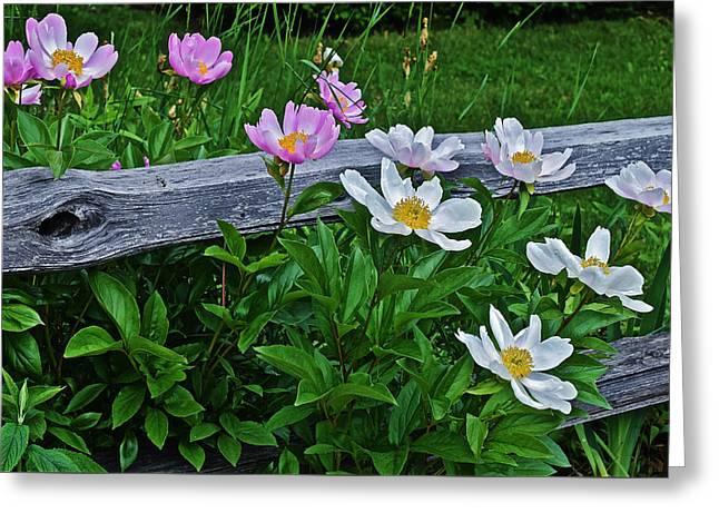 2015 Summer's Eve Neighborhood Garden Front Yard Peonies 2 Greeting Card