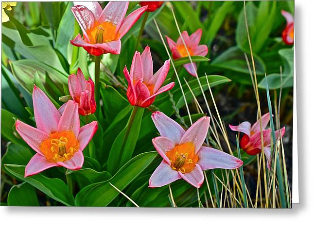 2016 Acewood Tulips 2 Greeting Card