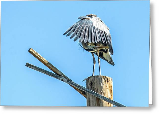 Great Blue Heron Greeting Card by Tam Ryan