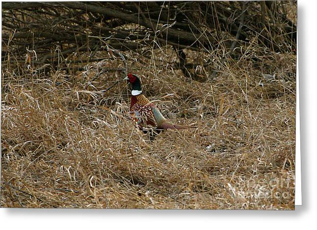 Ring-necked Rooster Pheasant  Greeting Card