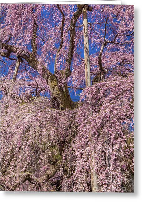 Greeting Card featuring the photograph Miharu Takizakura Weeping Cherry25 by Tatsuya Atarashi