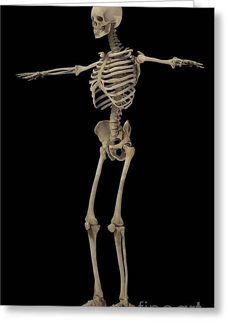 3d Rendering Of Human Skeletal System Greeting Card by Stocktrek Images