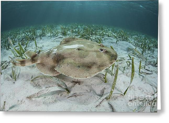 An Electric Ray On The Seafloor Greeting Card