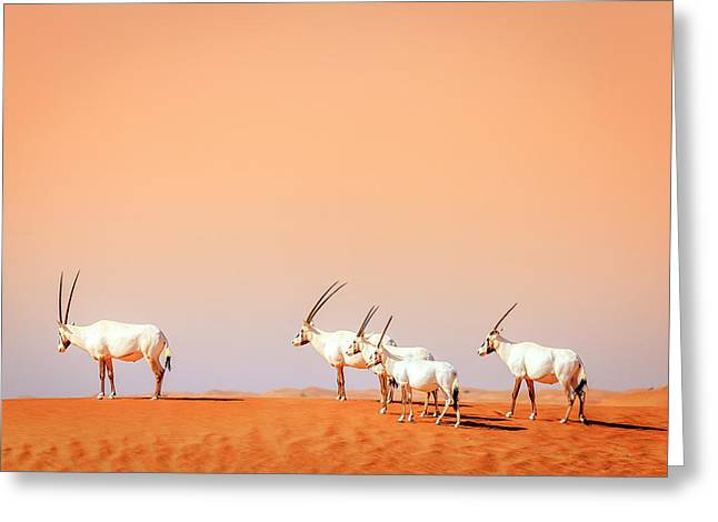 Greeting Card featuring the photograph Arabian Oryx by Alexey Stiop