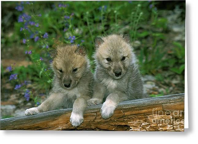 Arctic Wolf Canis Lupus Tundrarum Greeting Card