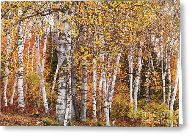 Birch Trees Fall Scenery Greeting Card