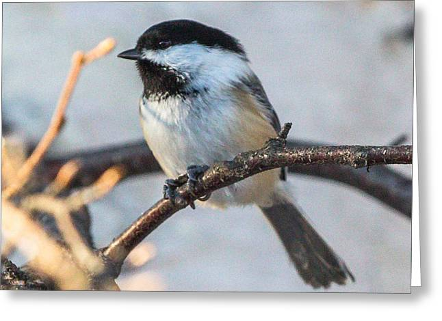 Black-capped Chickadee Greeting Card by Dee Carpenter