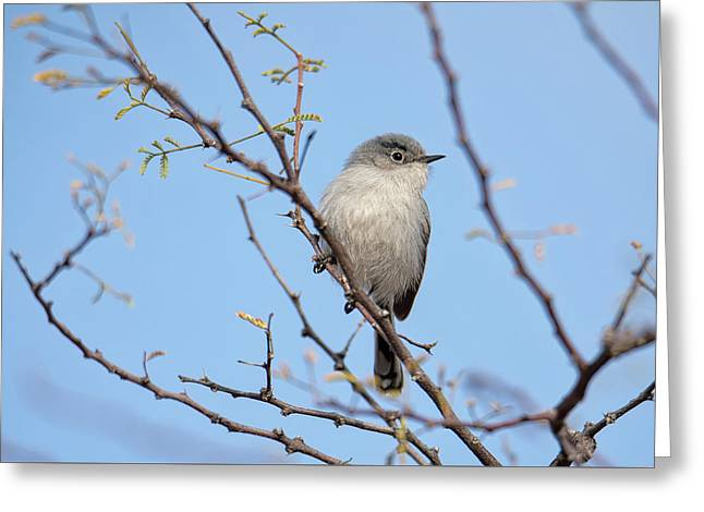 Black-tailed Gnatcatcher Greeting Card
