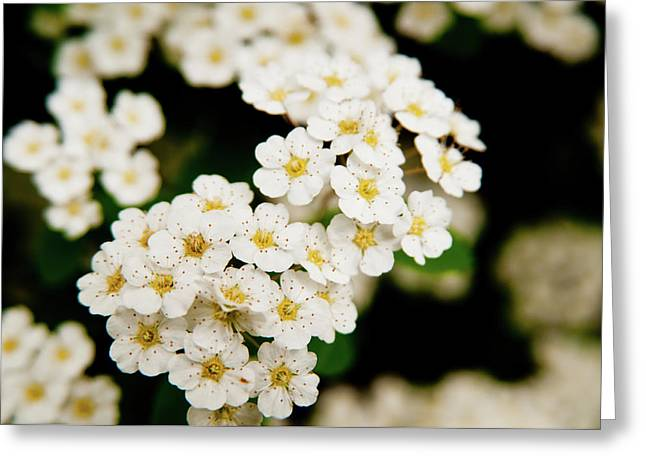 Greeting Card featuring the photograph Bridal Veil Spirea by Brenda Jacobs