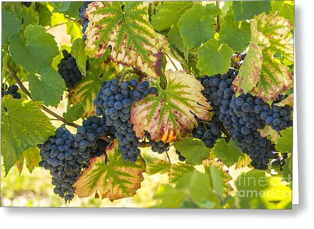 Bunch Of Grapes Greeting Card by Bernard Jaubert