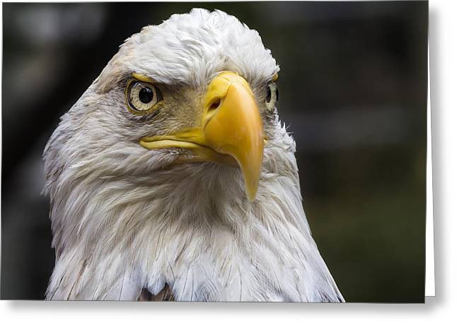Challenger The Bald Eagle Greeting Card by Robert Ullmann