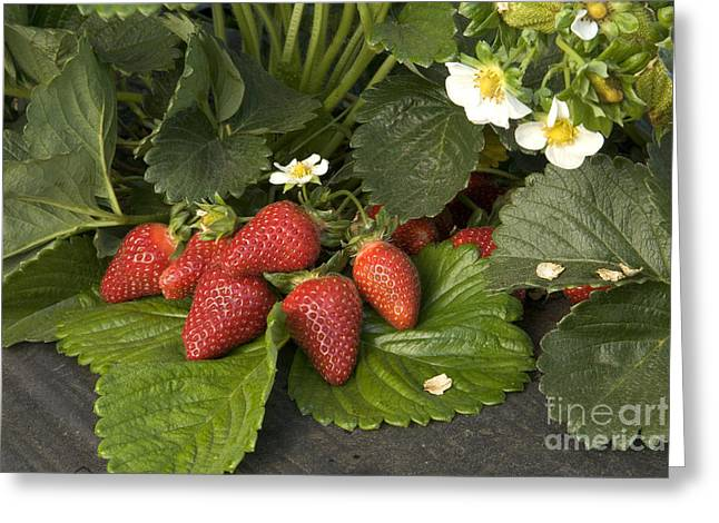 Chandler Strawberries Greeting Card by Inga Spence